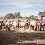 Trekpaardenhappening te Evergem op Zondag 14 juli 2019
